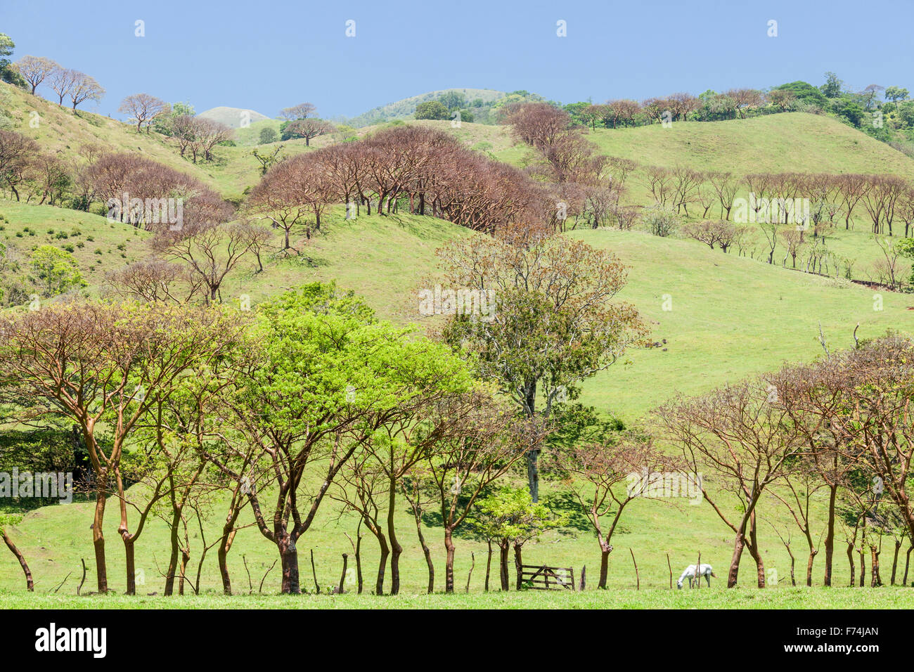 Gumbo limbo trees form the fence lines of meadows near Lake Catemaco, Veracruz, Mexico. - Stock Image