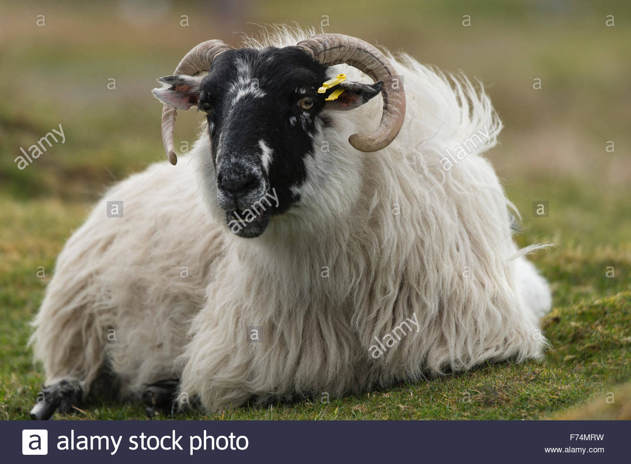 A Sheep on the Isle of Harris, Outer Hebrides, Scotland - Stock Image