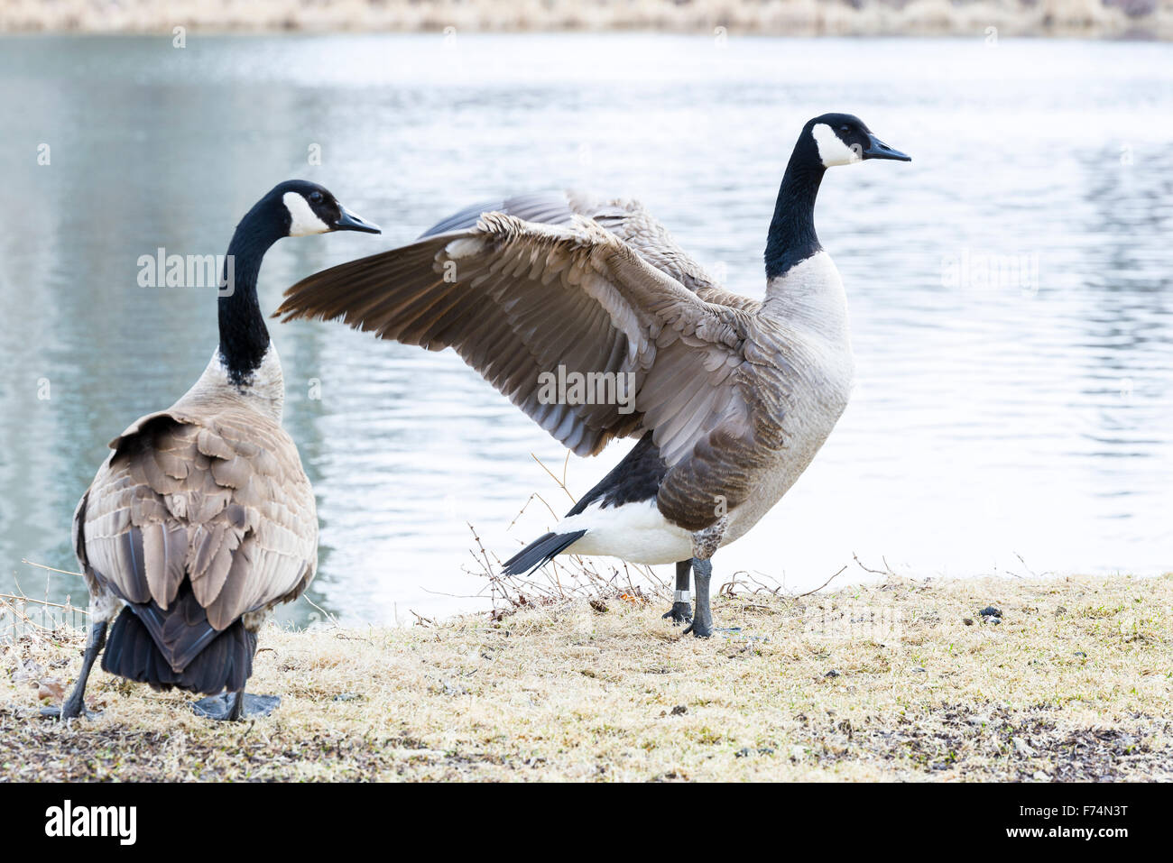 Cananda goose stretching it's wings - Stock Image