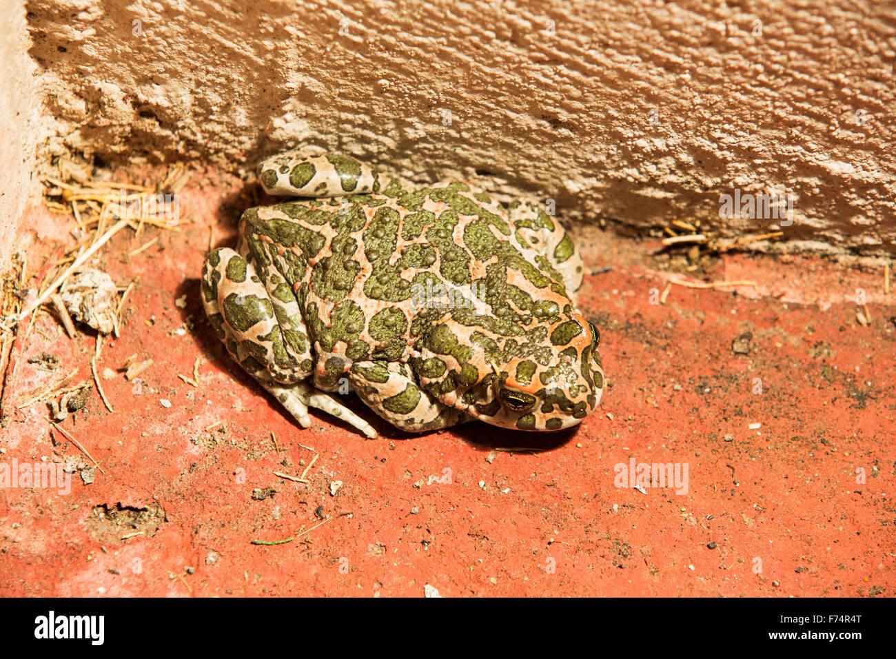 A Green toad, Bufo viridis in Skala Eresou, on Lesvos, Greece. Stock Photo