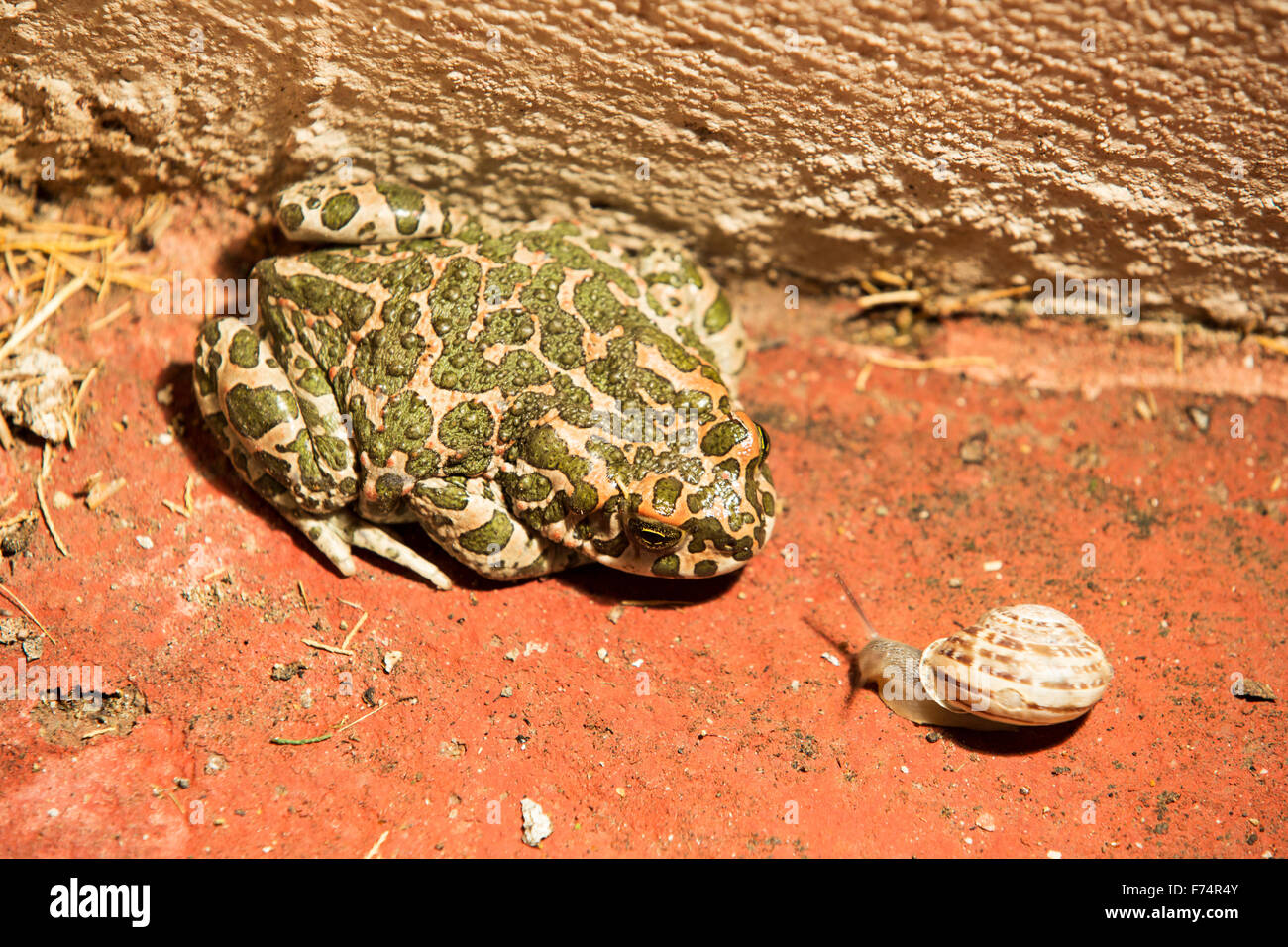 A Green toad, Bufo viridis in Skala Eresou, on Lesvos, Greece, with an approaching snail. Stock Photo