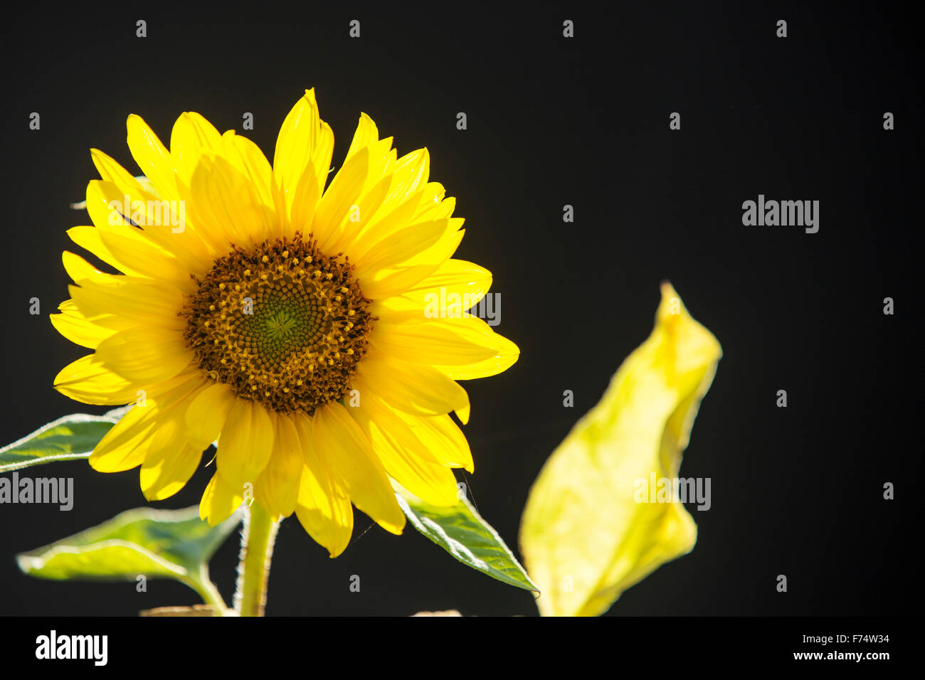 A sunflower backlit by the sun. Stock Photo