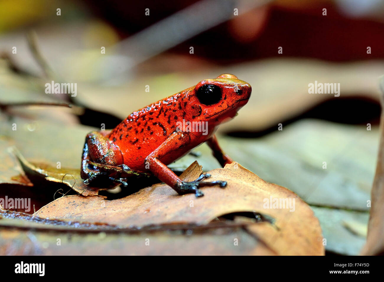 Blue Jeans Dart Frog in Costa Rica's rain forest - Stock Image