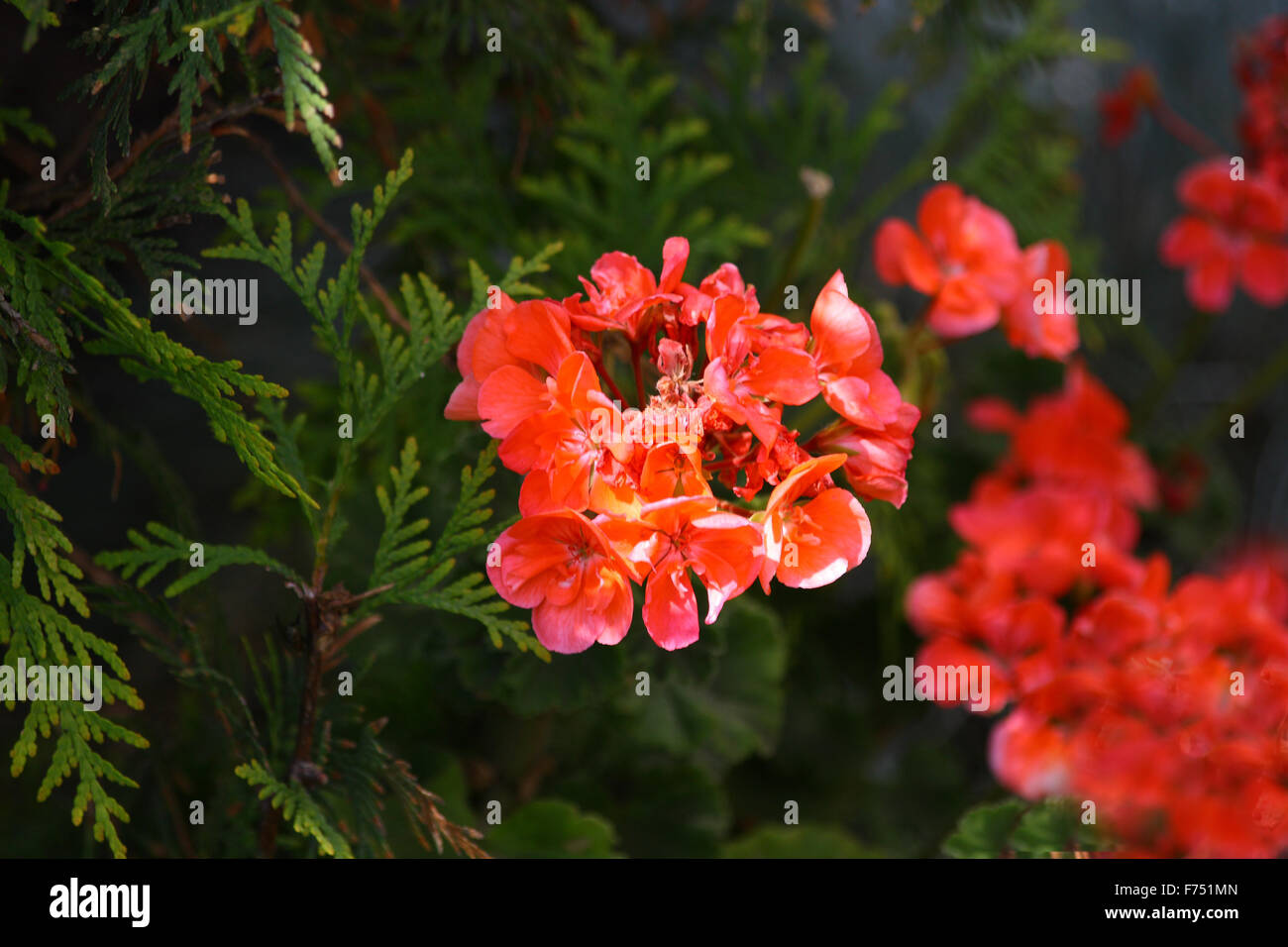 Red flowers and thuya - Stock Image