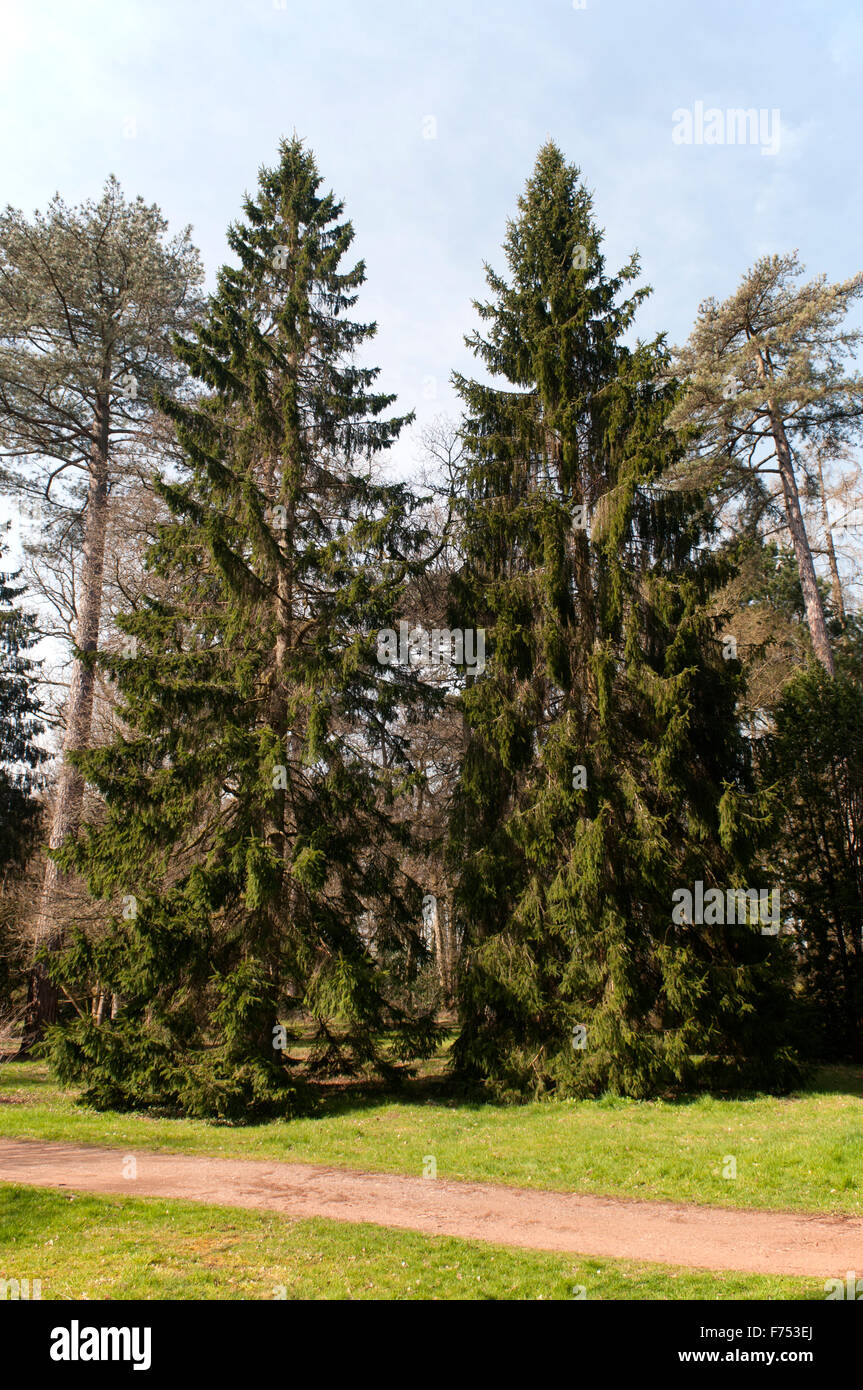 PICEA ABIES - Stock Image