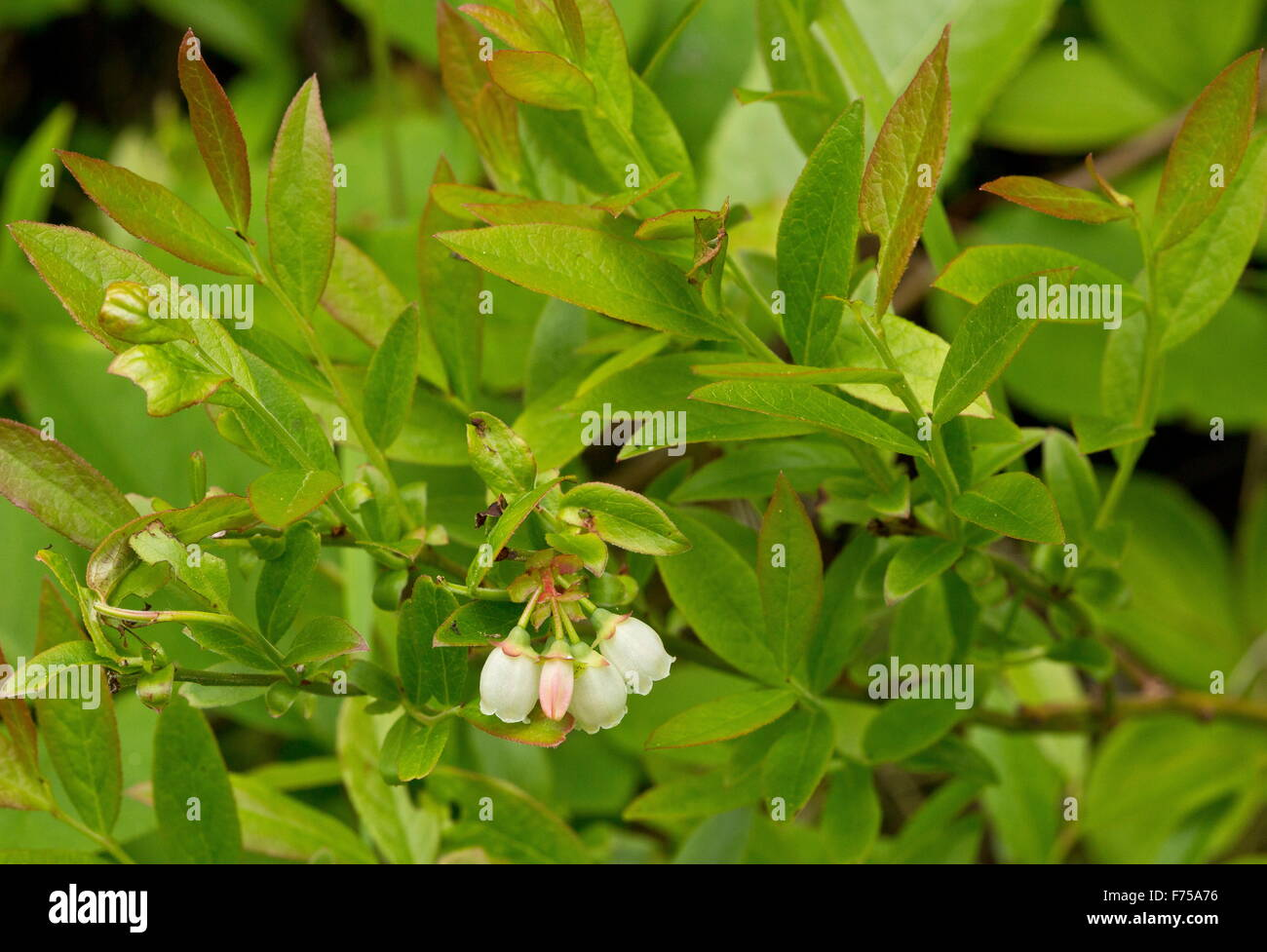 Lowbush blueberry in flower. Newfoundland. - Stock Image