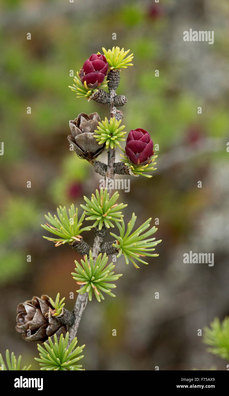 Tamarack, or eastern larch, Larix laricina with female cones and flowers. Newfoundland. - Stock Image
