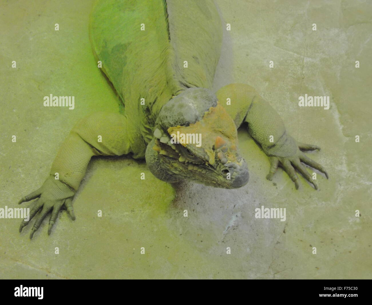 lizard face - Stock Image