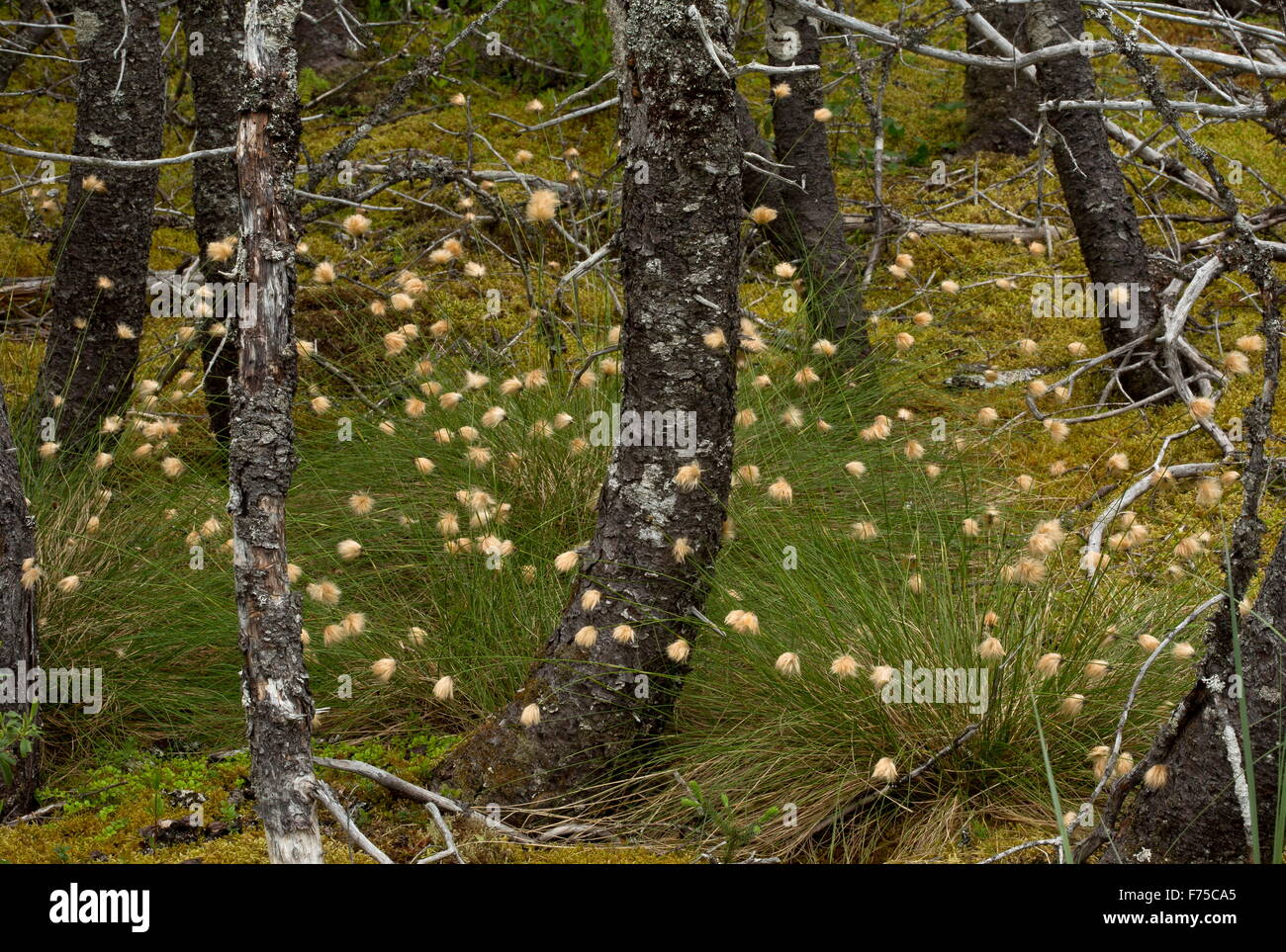 Chamisso's cottongrass or russet cottongrass, in fruit, in woodland, Newfoundland. - Stock Image