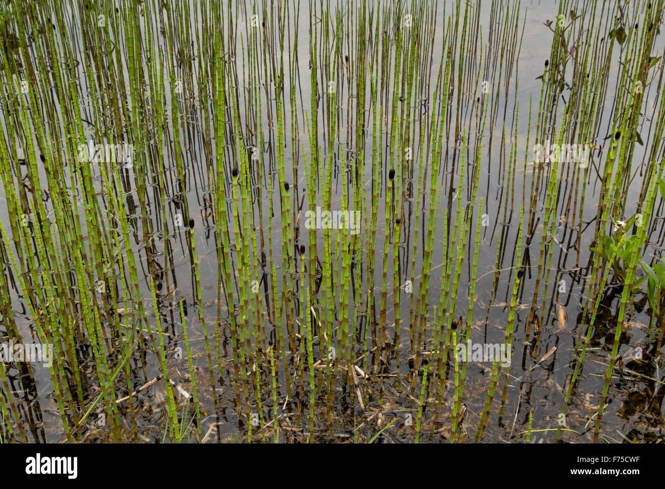 Horsetail marsh: description, properties 98