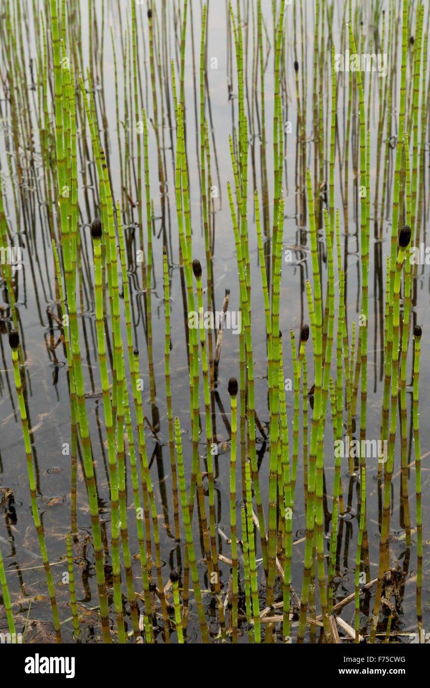 Horsetail marsh: description, properties 73
