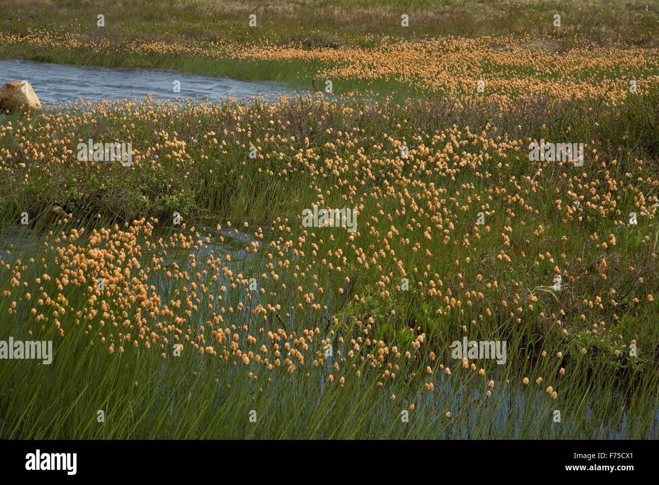Chamisso's cottongrass or russet cottongrass, in fruit, around bog pond, Newfoundland. - Stock Image