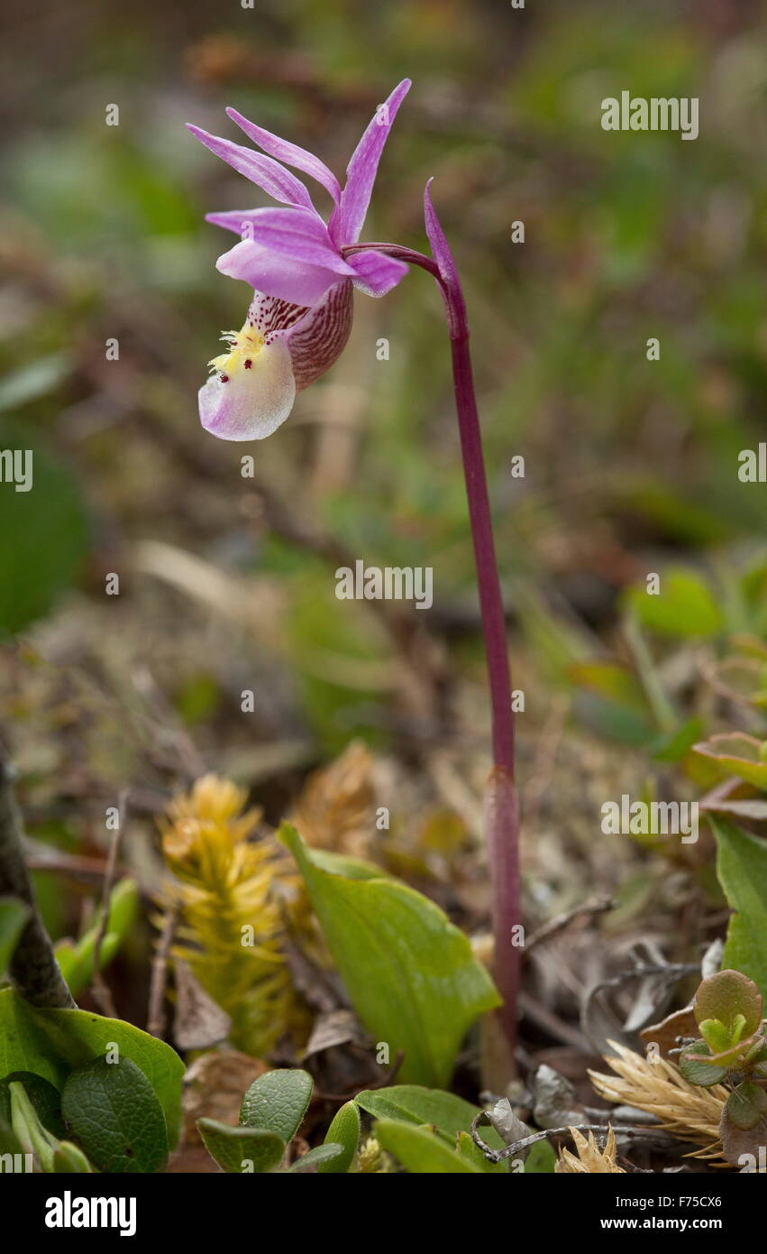Eastern Fairy-slipper, or calypso orchid,  at Burnt Cape, Newfoundland. - Stock Image