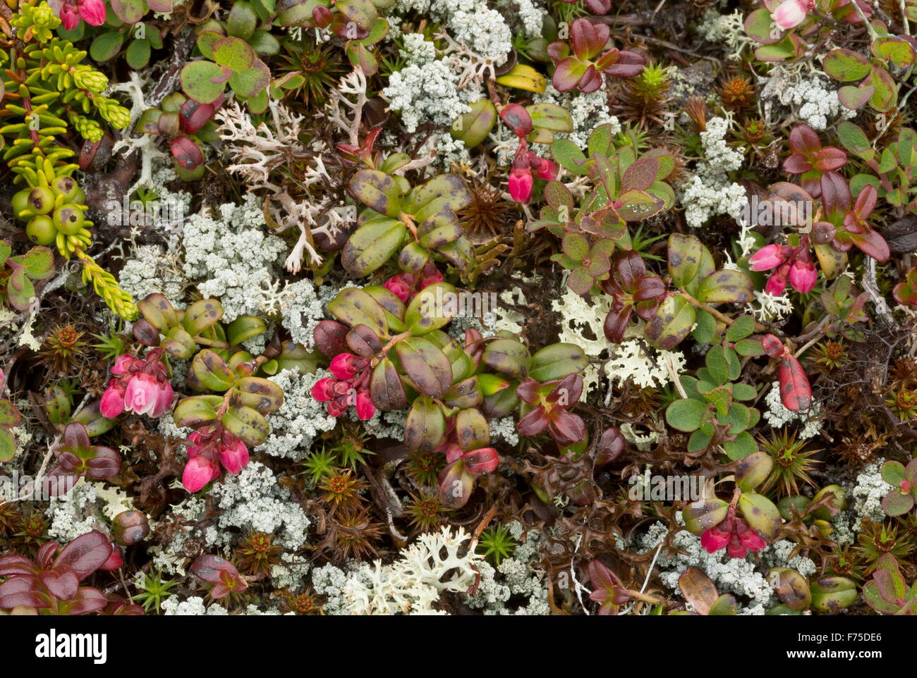 Cowberry, in lichen-rich arctic tundra, with cranberry etc. Newfoundland - Stock Image