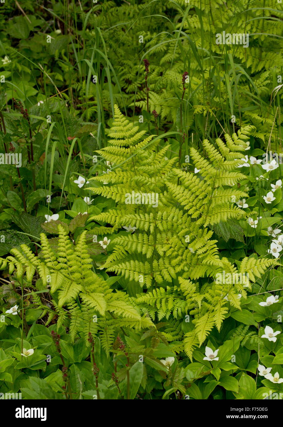 Mountain Woodfern, Spreading Shieldfern, Dryopteris campyloptera - Stock Image