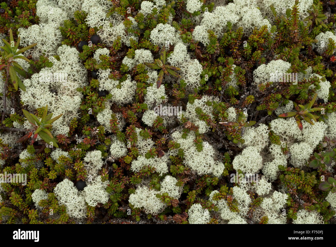 Crowberry and  lichens in boreal tundra at L'anse aux meadows, Newfoundland - Stock Image