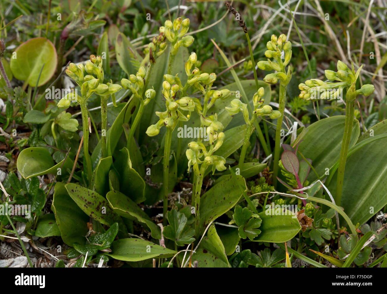 Group of Blunt-leaf rein orchids, Platanthera obtusata in tundra, Newfoundland - Stock Image