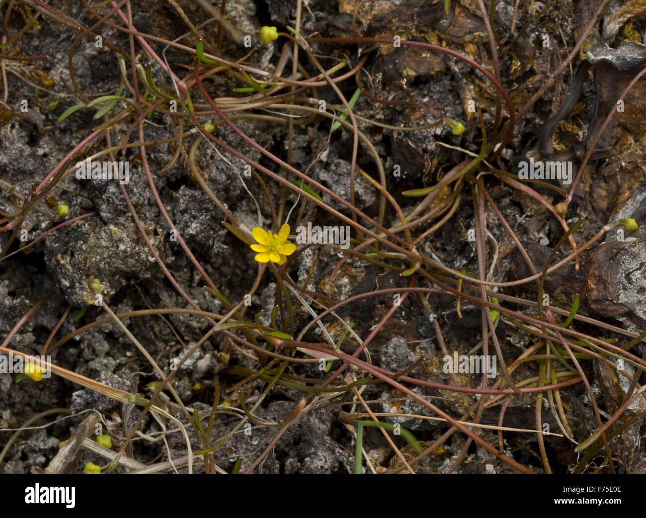 Creeping Spearwort,  Ranunculus reptans in damp hollow. Very rare in UK. - Stock Image