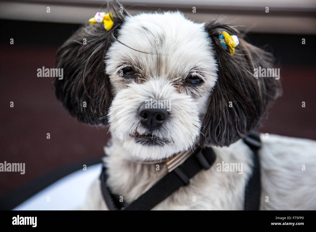 Sweet little pup with yellow bows - Stock Image