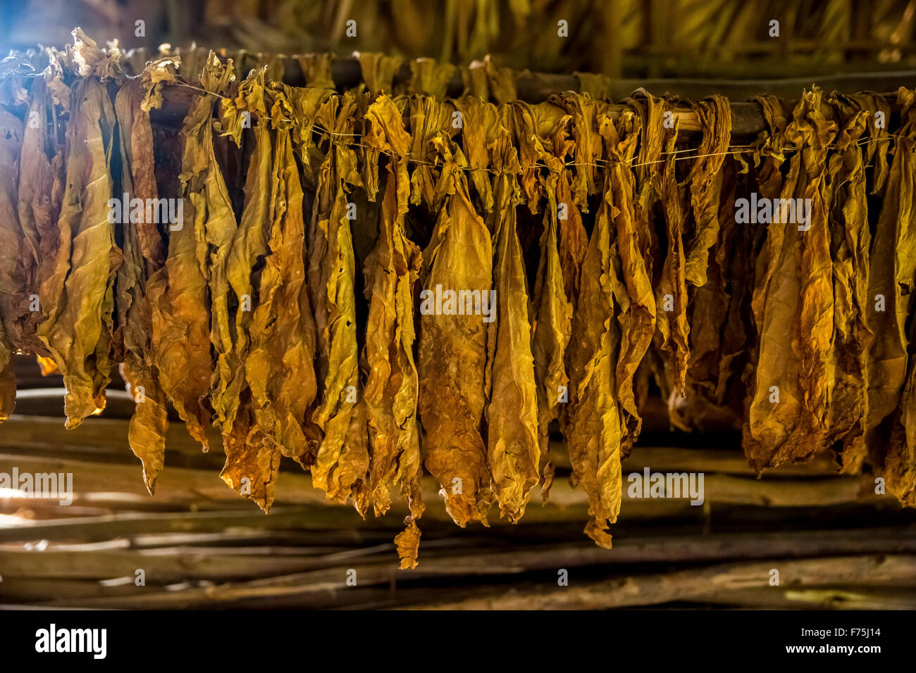 dried tobacco leaves in a tobacco barn, Tobacco Farm in Vinales Valley, Vinales, Cuba, Pinar del Río, Cuba - Stock Image