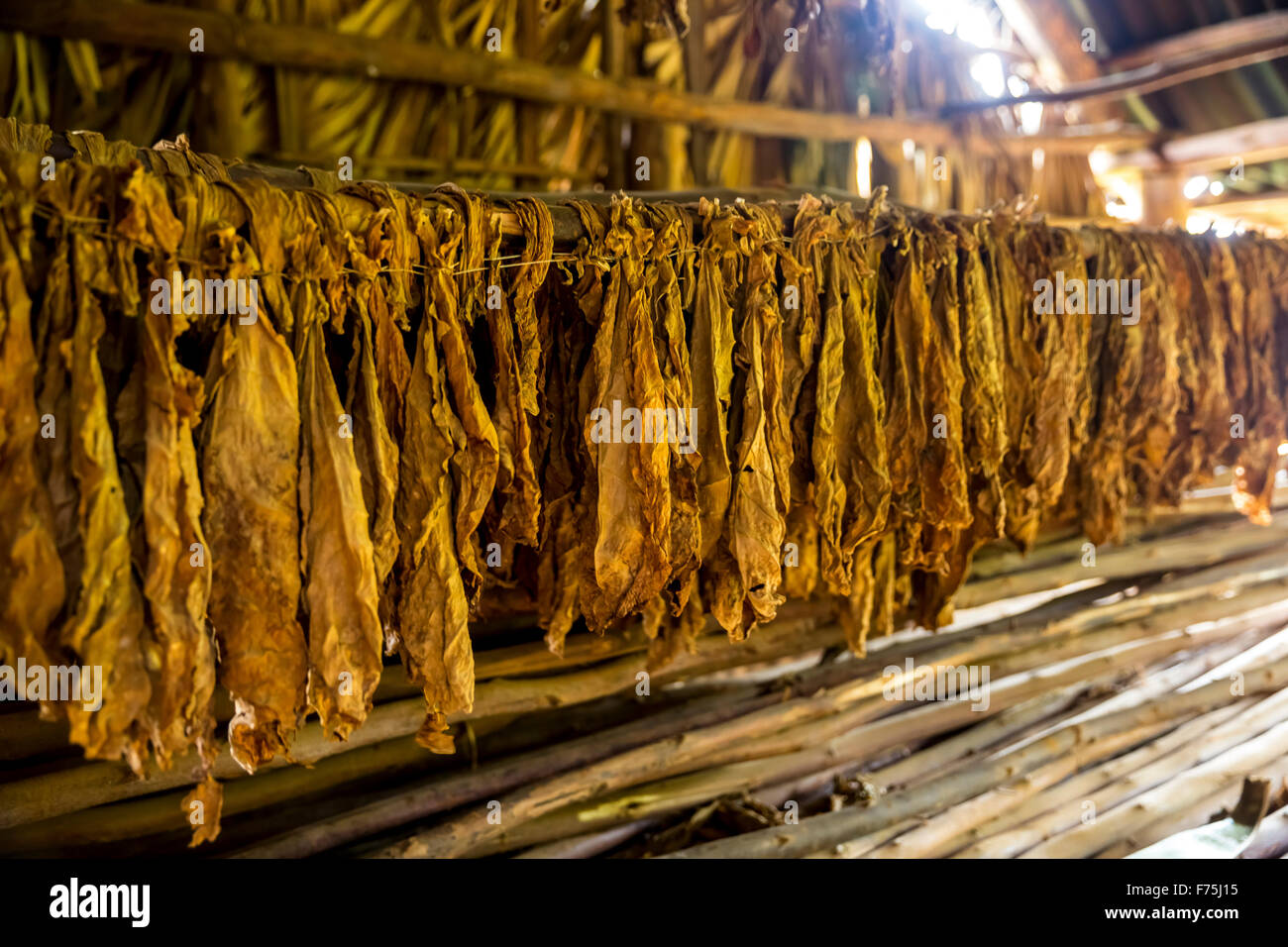 dried tobacco leaves in a tobacco barn, Tobacco Farm in Vinales Valley, Vinales, Cuba, Pinar del Río, Cuba Stock Photo