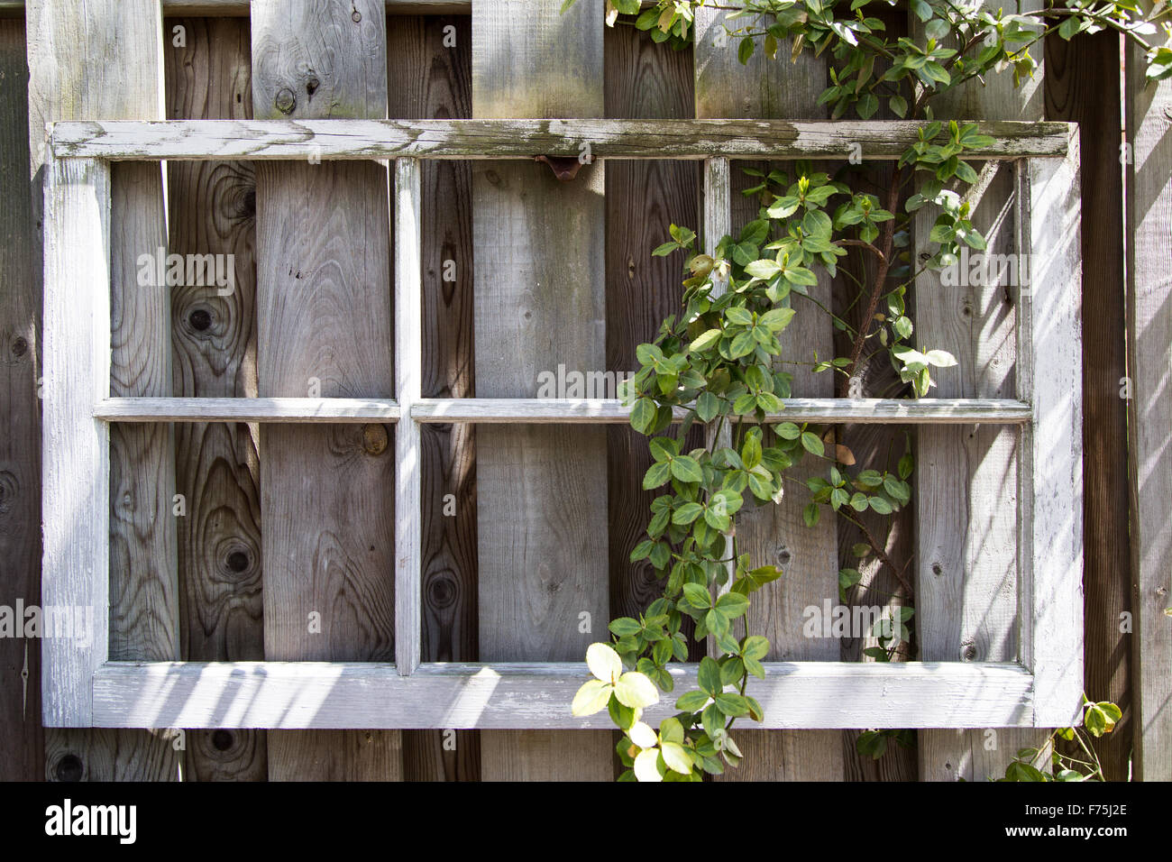 Vintage window frame with flowering vines growing on a wooden fence ...