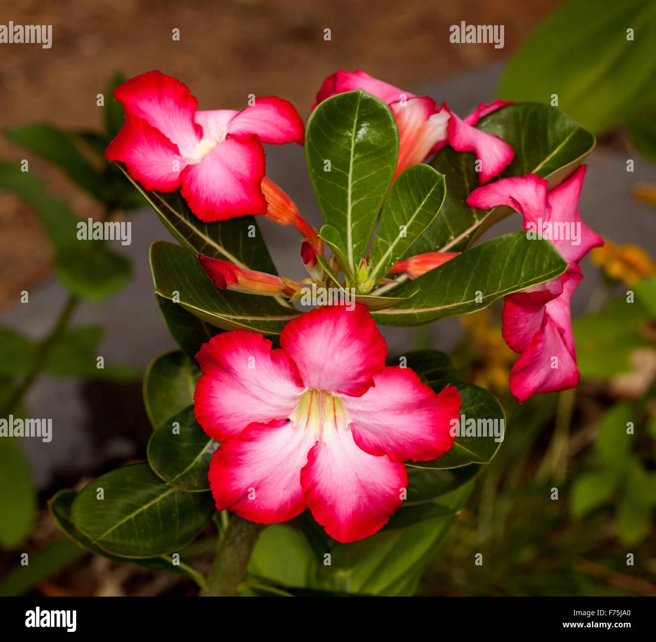 Stunning reddeep pink flowers with white throat dark green leaves stunning reddeep pink flowers with white throat dark green leaves buds of adenium obesum pretty pink african desert rose mightylinksfo
