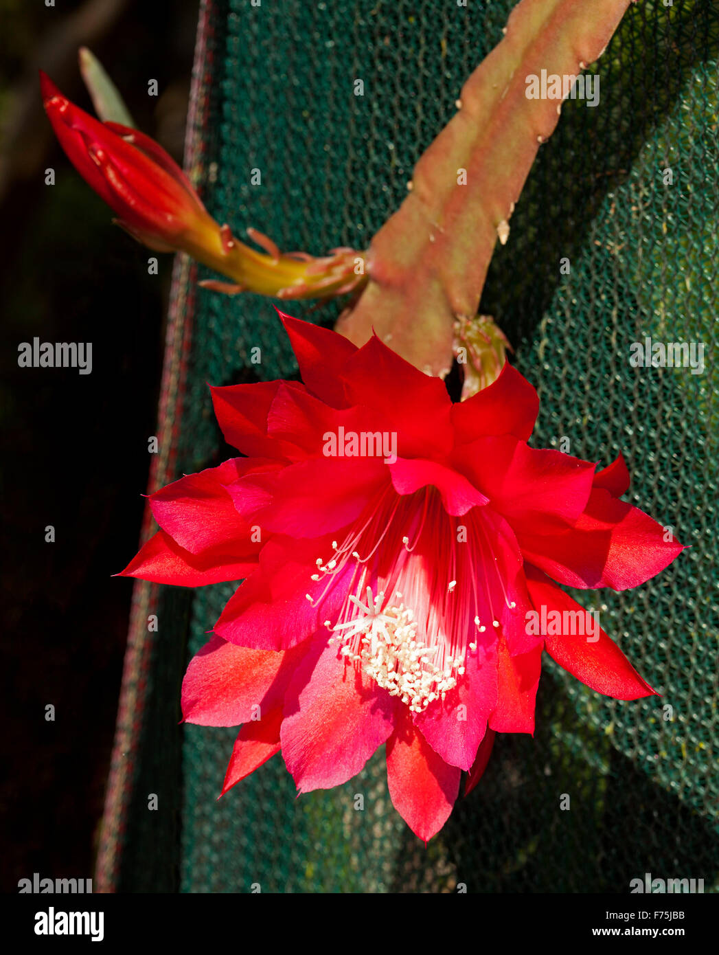 Spectacular Large Vivid Red Flower Bud Of Epiphyllum Cactus