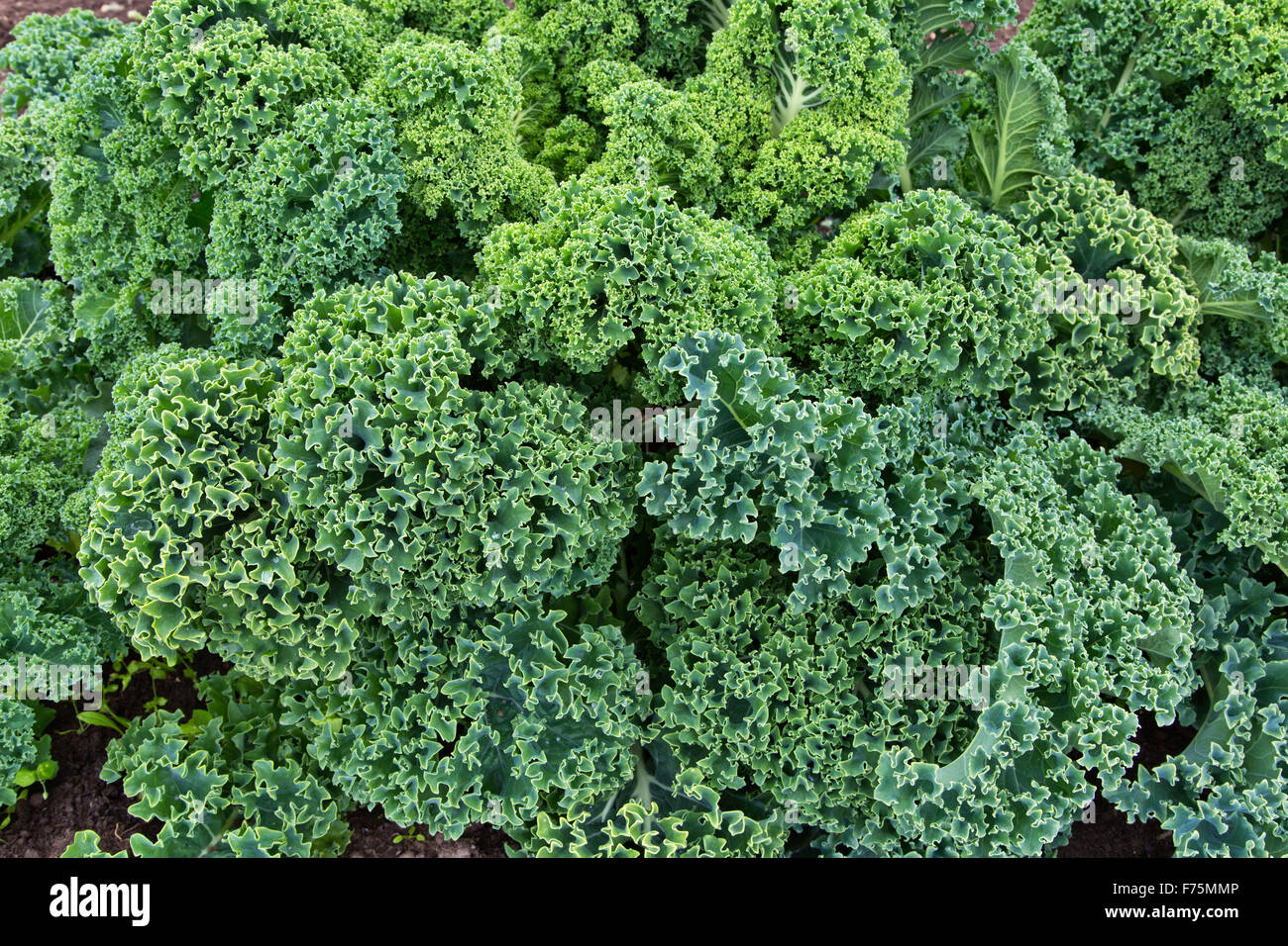 Close-up of 'Green Curly' organic Kale leaves growing. - Stock Image