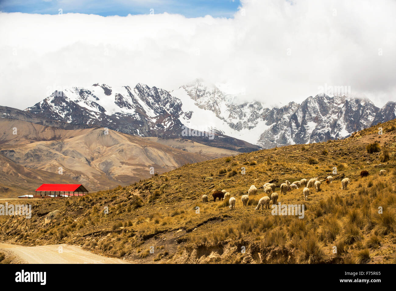 Looking over the Altiplano with Lama's grazing to the snow covered Andean peak of Huayna Potosi in Bolivia. - Stock Image