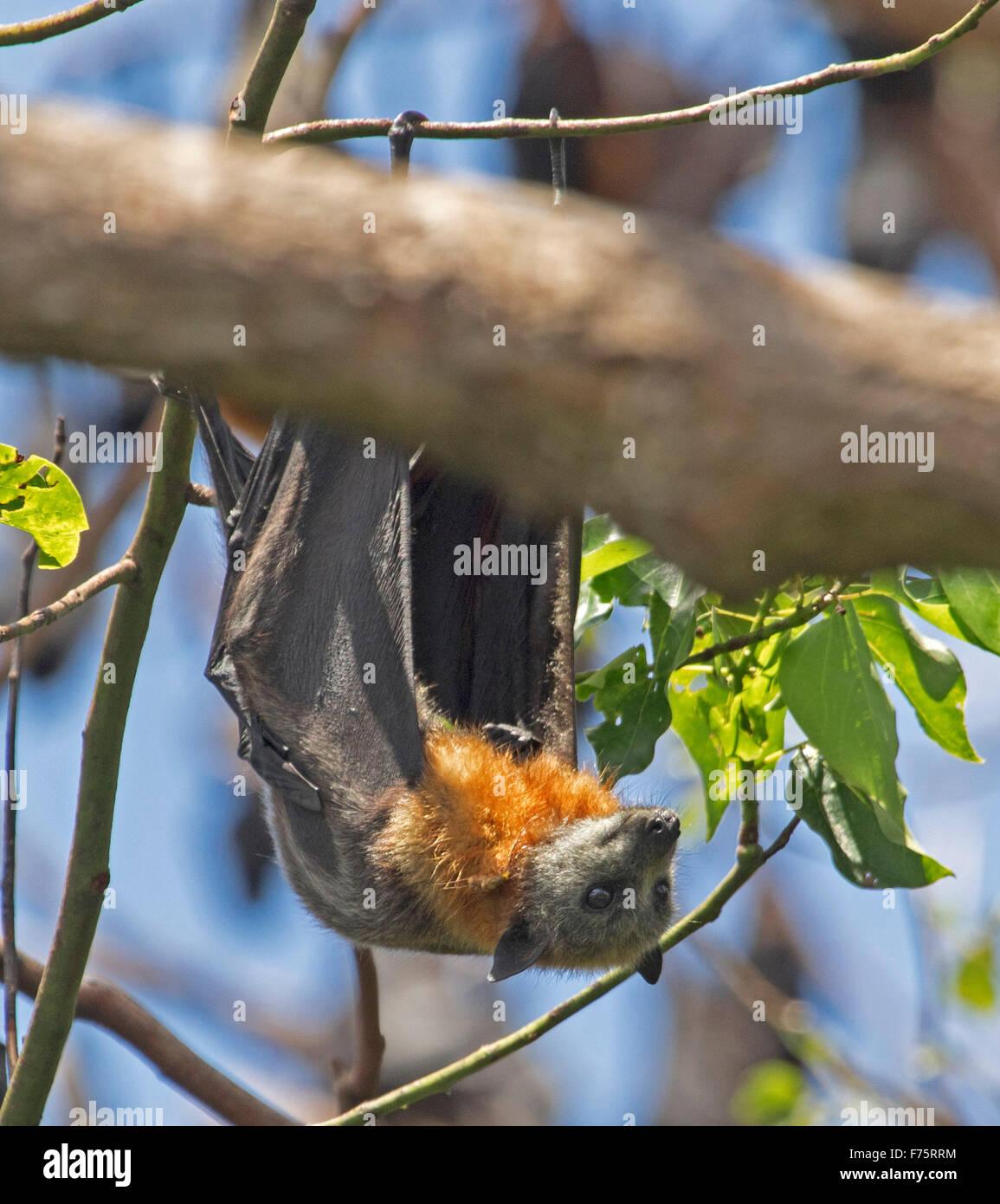 Australian grey-headed fruit bat / flying fox, Pteropus poliocephalus, wings open, hanging in tree against blue Stock Photo