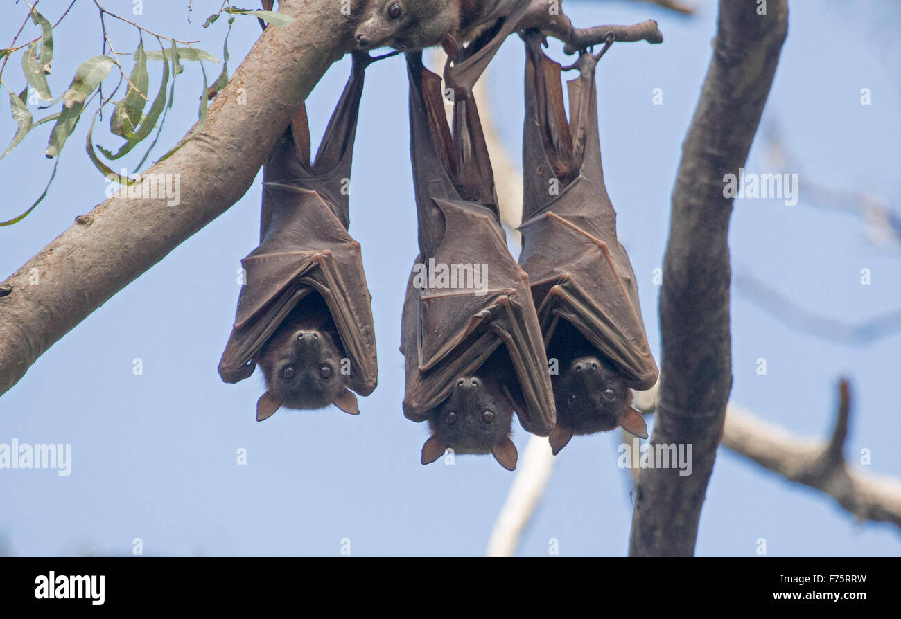 Dating h&b bats in Australia