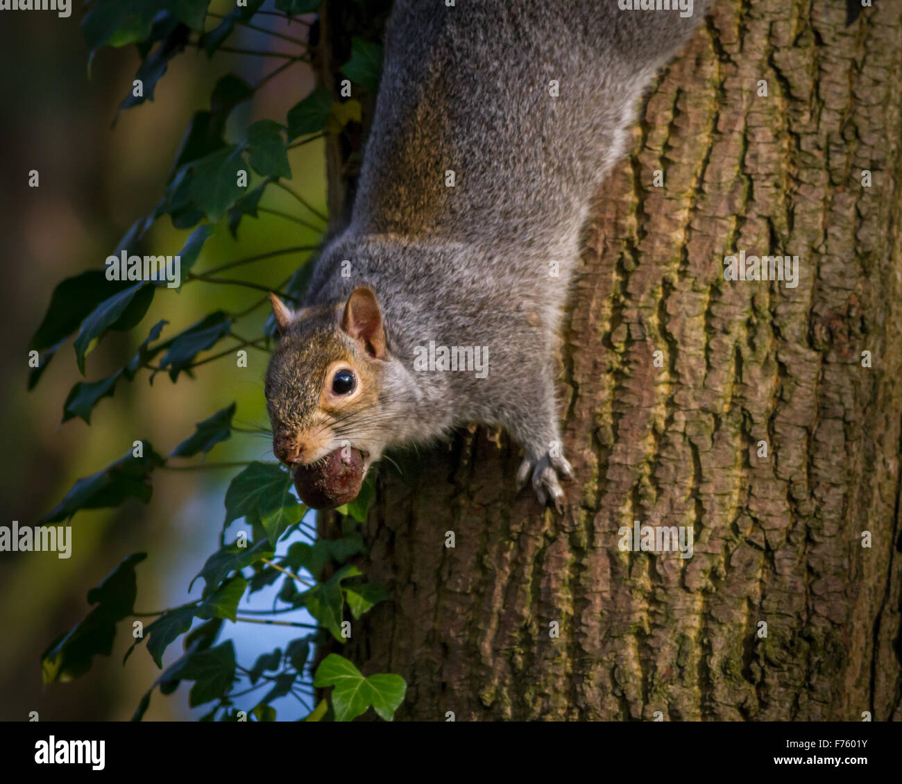 Grey squirrel pausing for a moment with a conker in its mouth - Stock Image
