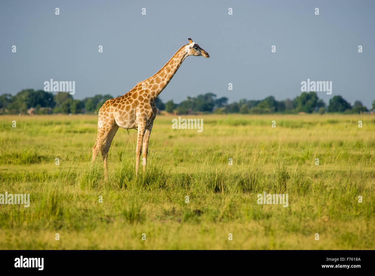 Kasane, Botswana - Chobe National Park Giraffe (Giraffa camelopardalis) - Stock Image