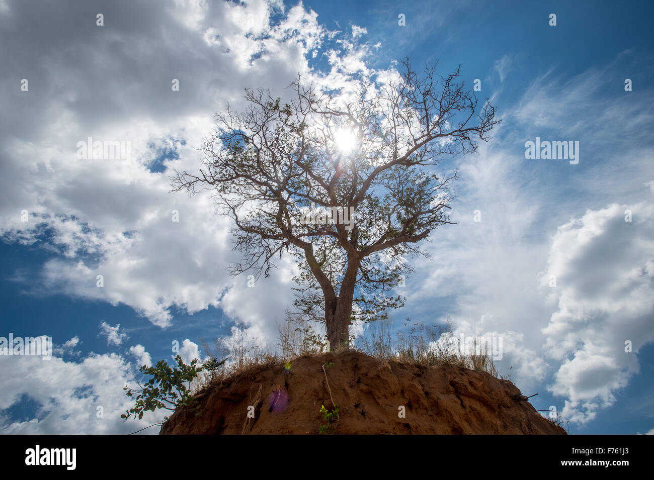 Kasane, Botswana - Chobe National Park Elephant-rubbed tree - Stock Image