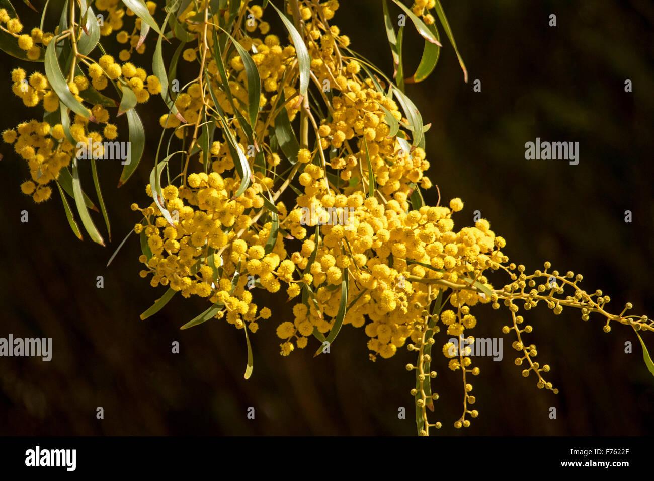 Cluster of golden yellow flowers green leaves of acacia pycnantha cluster of golden yellow flowers green leaves of acacia pycnantha australian wattle beautiful wildflowers on dark background mightylinksfo