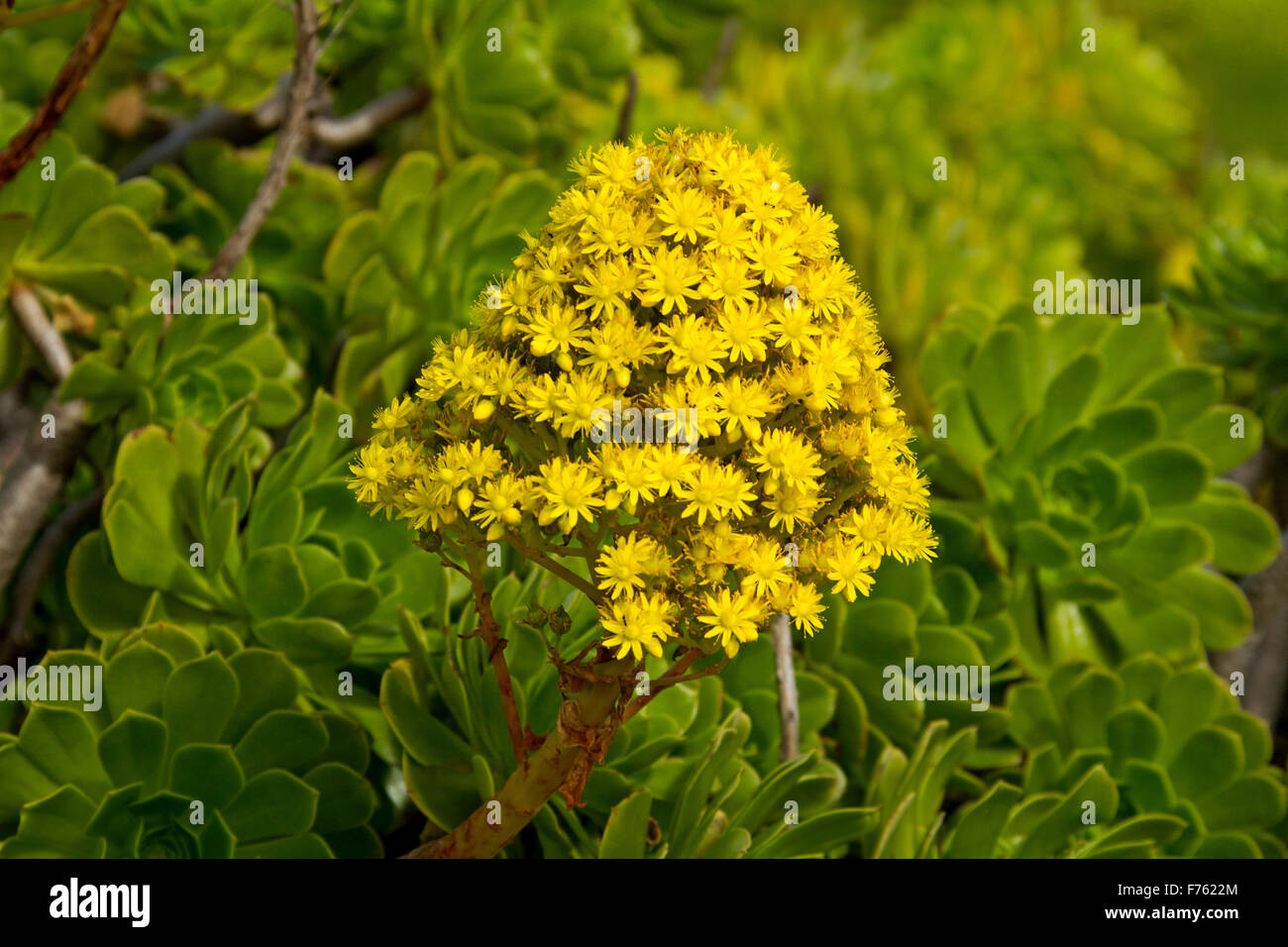 Large Conical Vivid Yellow Flower Leaves Of Succulent Aeonium