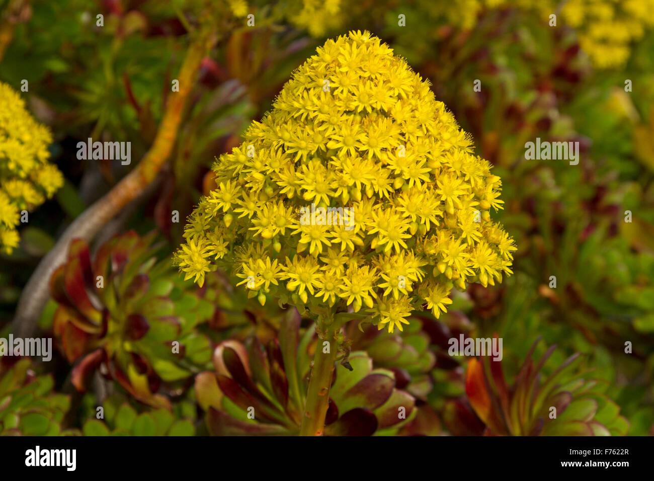 Large conical vivid yellow flower leaves of succulent aeonium large conical vivid yellow flower leaves of succulent aeonium arboreum tree houseleek an invasive weed species in australia mightylinksfo