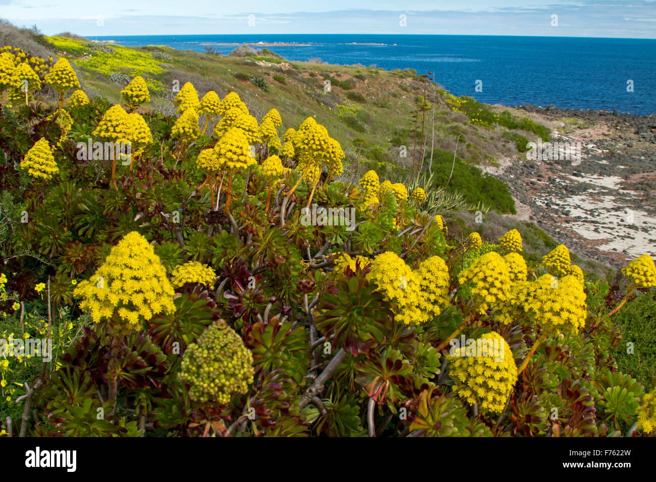 Succulent Aeonium arboreum, houseleek with mass of yellow flowers, an invasive weed species growing on coastal dunes - Stock Image