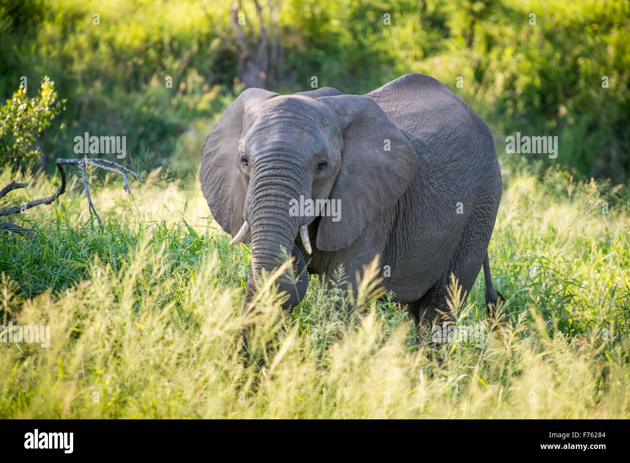 SOUTH AFRICA- Kruger National Park  African Elephant (Loxodonta) - Stock Image