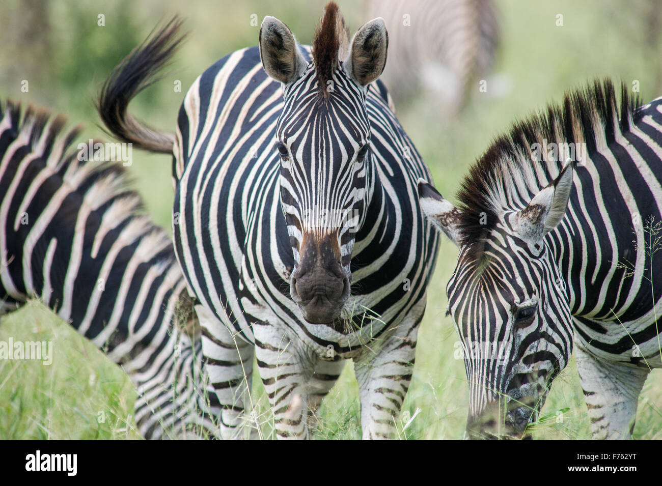 SOUTH AFRICA- Kruger National Park  Zebra (Equus burchelli) - Stock Image