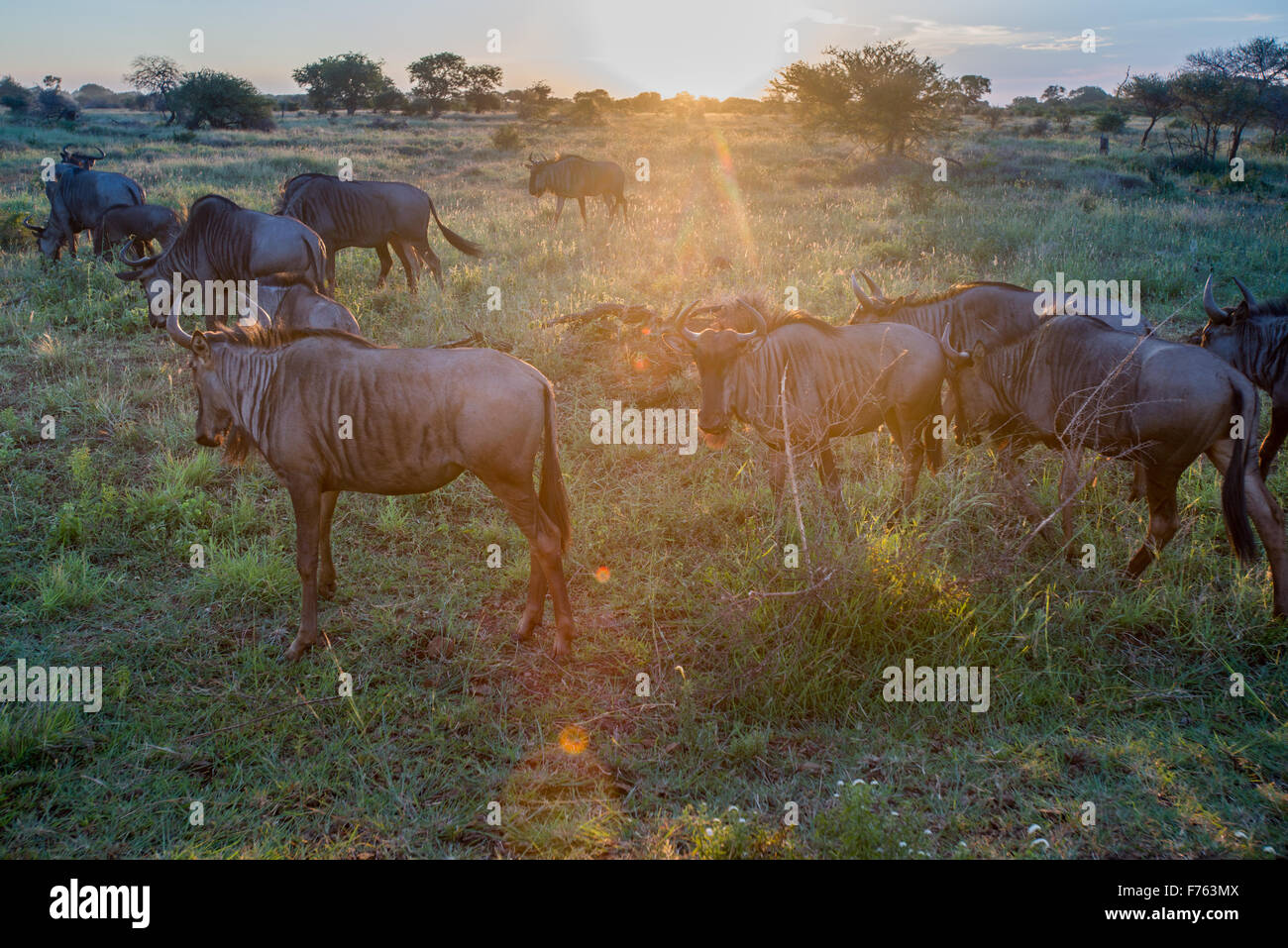 SOUTH AFRICA- Kruger National Park Wildebeast (Connochaetes) - Stock Image