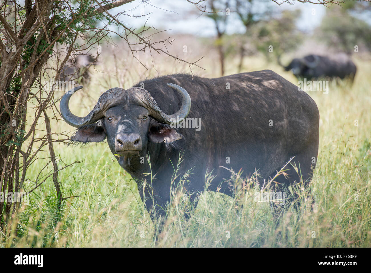 SOUTH AFRICA- Kruger National Park  Cape Buffalo (Syncerus caffer) Stock Photo