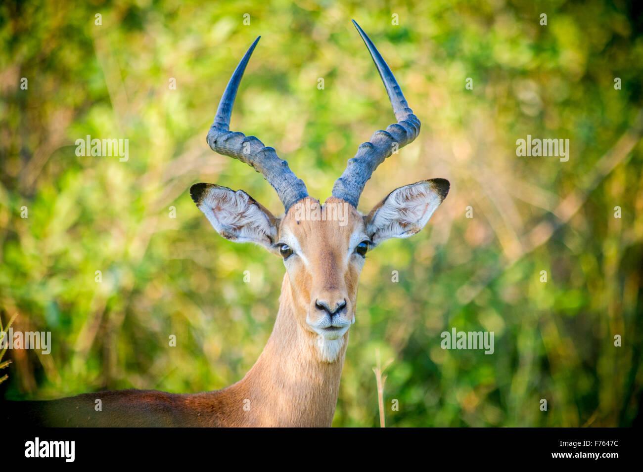 SOUTH AFRICA- Kruger National Park  Impala(Aepyceros melampus) Stock Photo