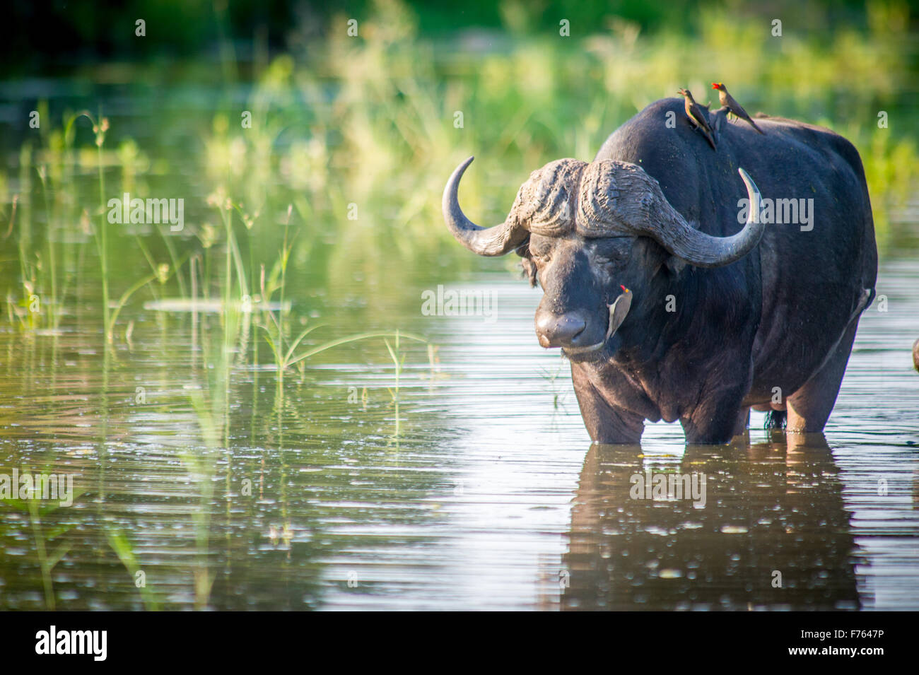 SOUTH AFRICA- Kruger National Park  Cape Buffalo (Syncerus caffer) Red Billed Ox Pecker - Stock Image