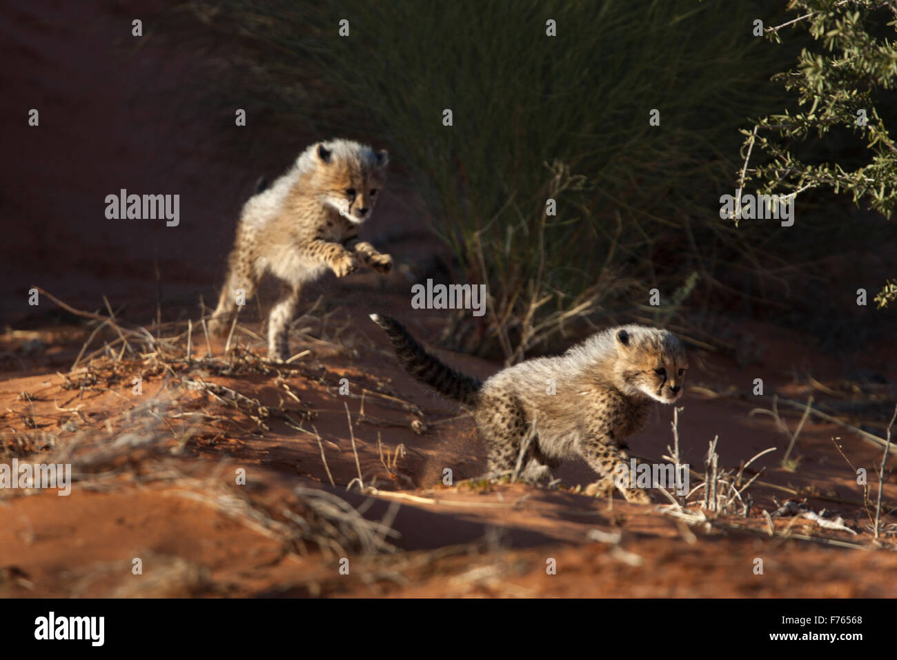 Cheetah cubs playing in the sand dunes of the Kgalagadi Transfrontier Park - Stock Image