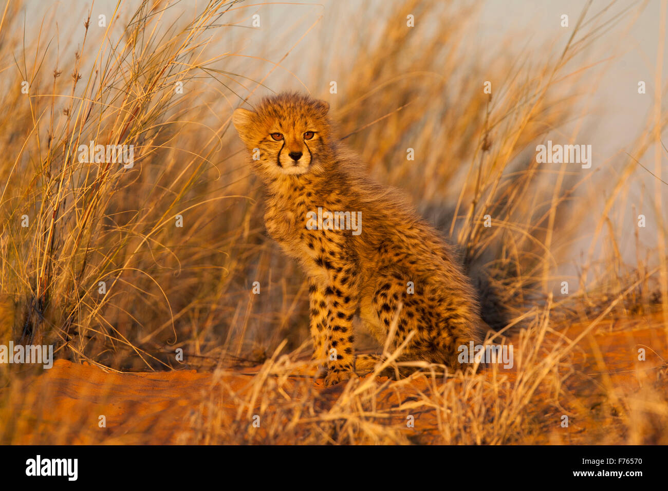 Cheetah cub sitting on a sand dune bathed in sunlight in the Kgalagadi Transfrontier Park - Stock Image