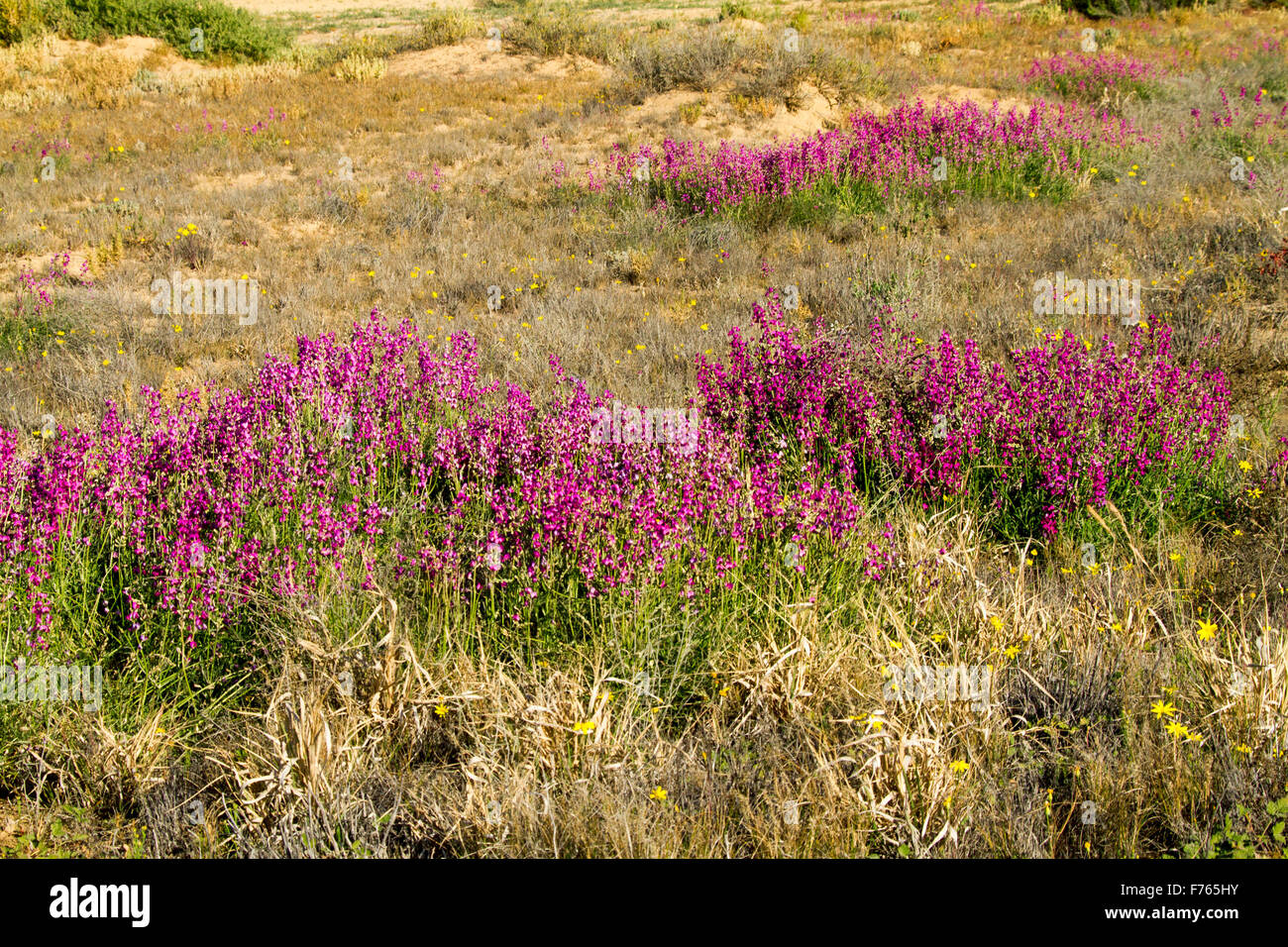Swathes of vivid magenta / purple flowers & green leaves of Swainsona campylantha, wildflowers growing in outback Stock Photo