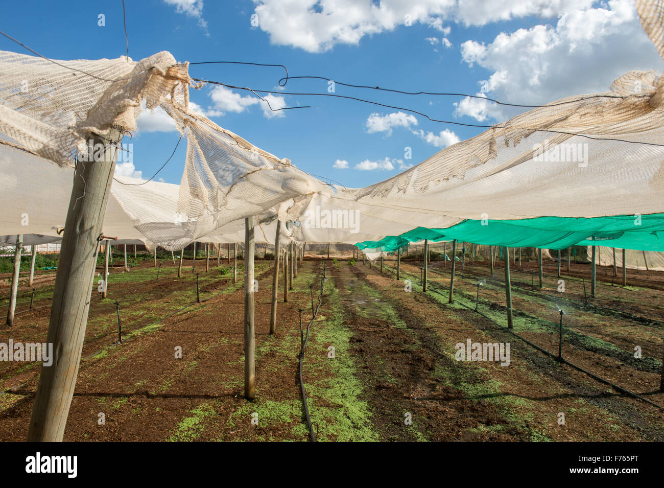 JOHANNESBURG, SOUTH AFRICA- Torn fabric protecting crop on farm, - Stock Image