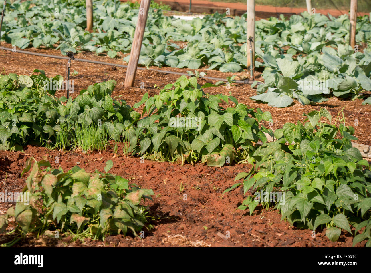 JOHANNESBURG, SOUTH AFRICA- Bean plants growing on farm, - Stock Image